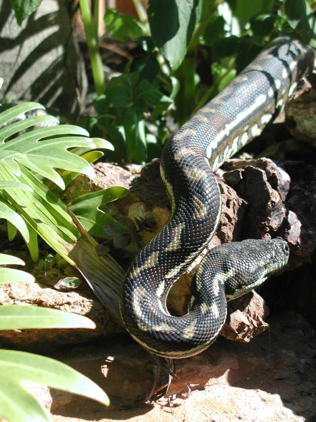 Carpet Python drinking at our fish pond
