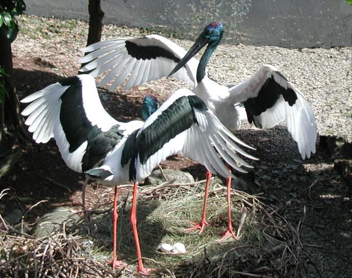 Jabiru's on the nest