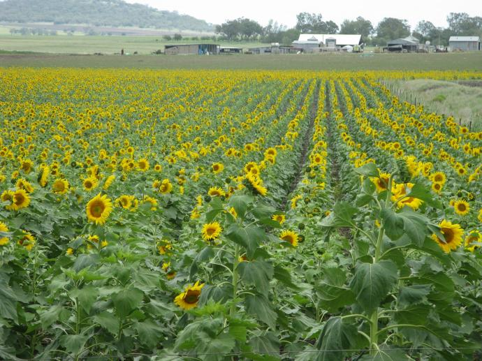 The earth can also produce a beautiful crop of sunflowers