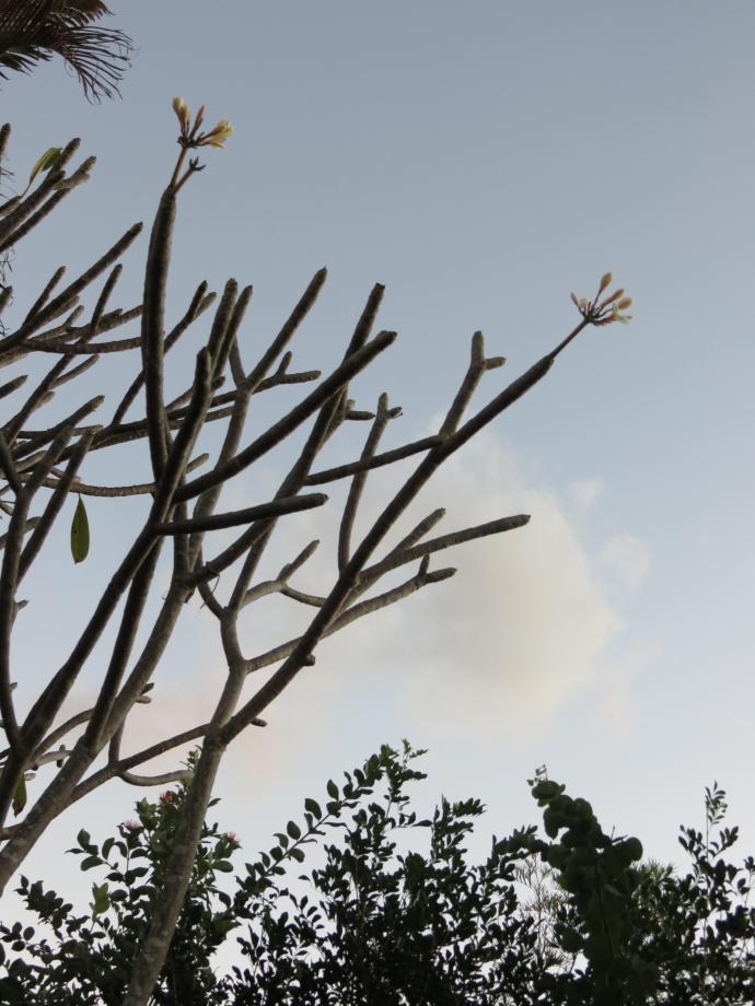 winter frangipani 003_3000x4000